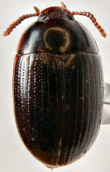 Tenebrionidae? - Platydema micans - male