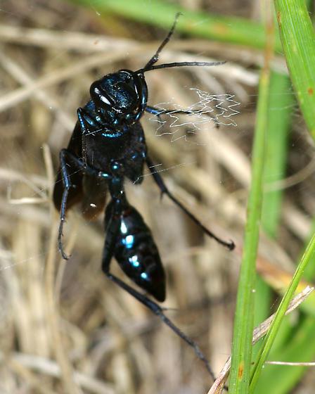 Blue Metallic wasp - Chalybion californicum