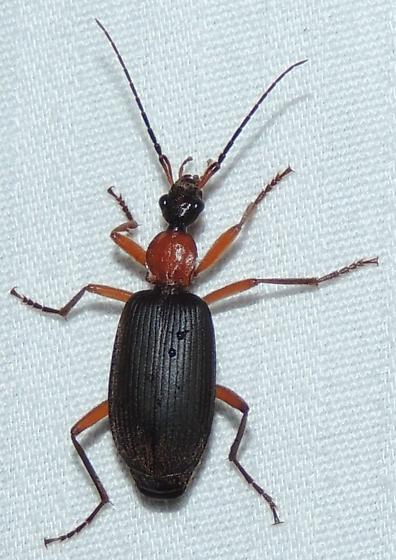 Black & red beetle - Galerita janus