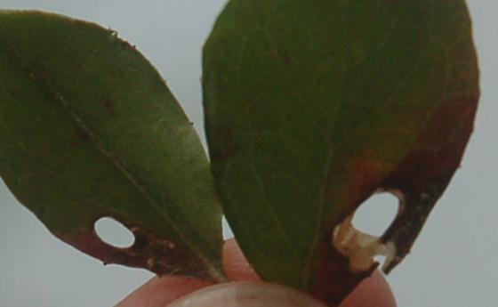 Ebenezer point leaf miner on Vaccinium arboreum D888 2017 3 - Coptodisca matheri