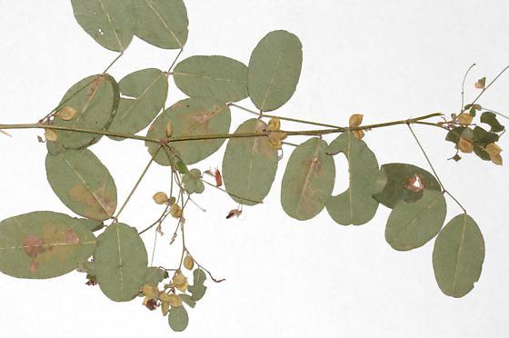 Lespedeza violacea leaf mines, back side of leaves