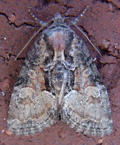 Noctuidae: Neoligia subjuncta? - Neoligia subjuncta