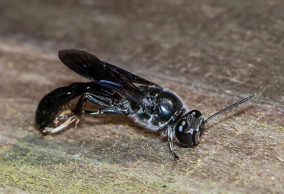 Mimic or Wasp? - Trypoxylon lactitarse