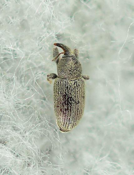 small weevil... - Tychius picirostris