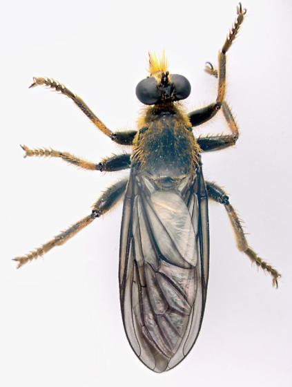 Asilidae, dorsal - Echthodopa pubera - male