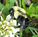 black and yellow Bumble Bee - Bombus impatiens