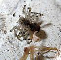 Spider Molting - Neriene montana