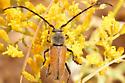 long horned beetle - Crossidius