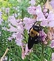 Carpenter bee? - Xylocopa virginica