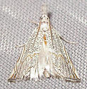 Haimbachia squamulella - Haimbachia squamulellus