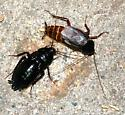 Roaches  - Blatta orientalis - male - female