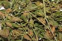 Argidae, cocoons on Scurf Pea - Sphacophilus apios