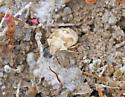 Bug from Utah - Thyanta
