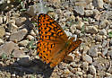 Butterfly 5721 - Speyeria hesperis - male