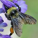 American Bumble Bee - Bombus pensylvanicus - female
