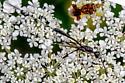 whispy wasp  - Gasteruption