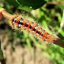 Unknown Caterpillar - Acronicta oblinita