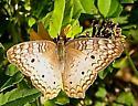 White Peacock - Anartia jatrophae