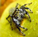 AZ version male - Phidippus asotus - male