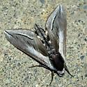Snowberry sphinx moth - Sphinx vashti - male