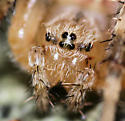 Cross Spider - Araneus diadematus
