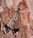 Glenurus gratus