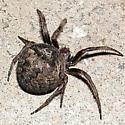 fat orb weaver - Araneus andrewsi