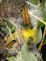 Ugly-nest Caterpillars - Archips cerasivorana