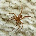 wandering spider, male - Anahita punctulata - male