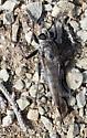 Neuroptera? - Efferia - female