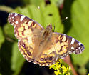 Painted Lady Butterfly - Vanessa virginiensis - male
