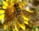 Bee Fly - Poecilanthrax tegminipennis