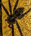 Large spider - Dolomedes scriptus