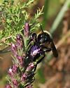 Bumblebee on dotted gayfeather - Bombus pensylvanicus