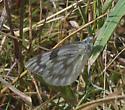 Pontia occidentalis ? - Pontia occidentalis - female