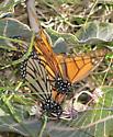 Monarch mating - Danaus plexippus - male - female