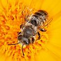 Megachile, subgenus Megachiloides? - Megachile - male