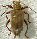 Beetle - Fidia viticida