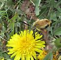 Clearwing Moth - Hemaris