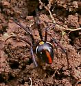 Spider; black with yellow dot, white side stripes and a red upside down exclamation point - Latrodectus variolus