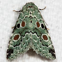 Red-spotted Lithacodia Moth - Hodges#9050 - Maliattha concinnimacula