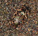 mating round sand beetles - Omophron ovale - male - female