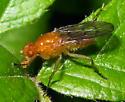 Marsh Fly? - Dryomyza
