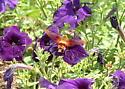 Petunia-Loving Moth? - Hemaris thysbe