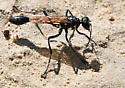Eremnophila aureonotata