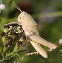 Grasshopper - Schistocerca camerata - female