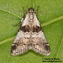 Pyralid - Tallula beroella