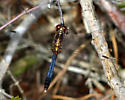 brown and blue dragonfly - Erythrodiplax minuscula