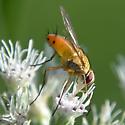 Amber fly on boneset