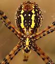 Argiope trifasciata - Banded Argiope - Argiope trifasciata - female